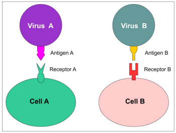 antigen binding