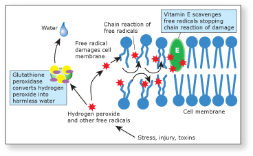 Actions of glutathione and vitamin E