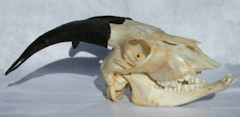 goat skull side view