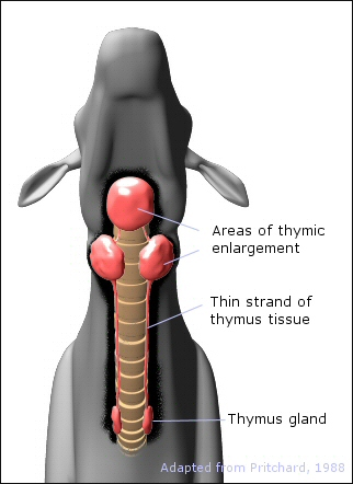 location of thymic enlargement